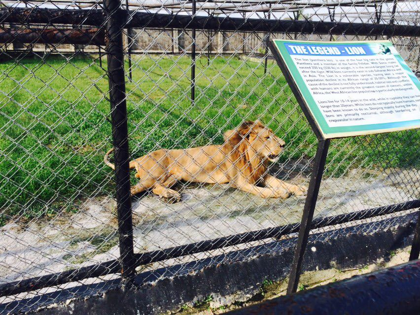Lion at the Omu resort zoo